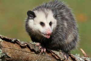 cape cod possum