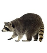 Cape Cod raccoon